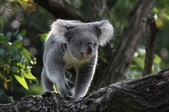 Koala_in_Zoo_Duisburg